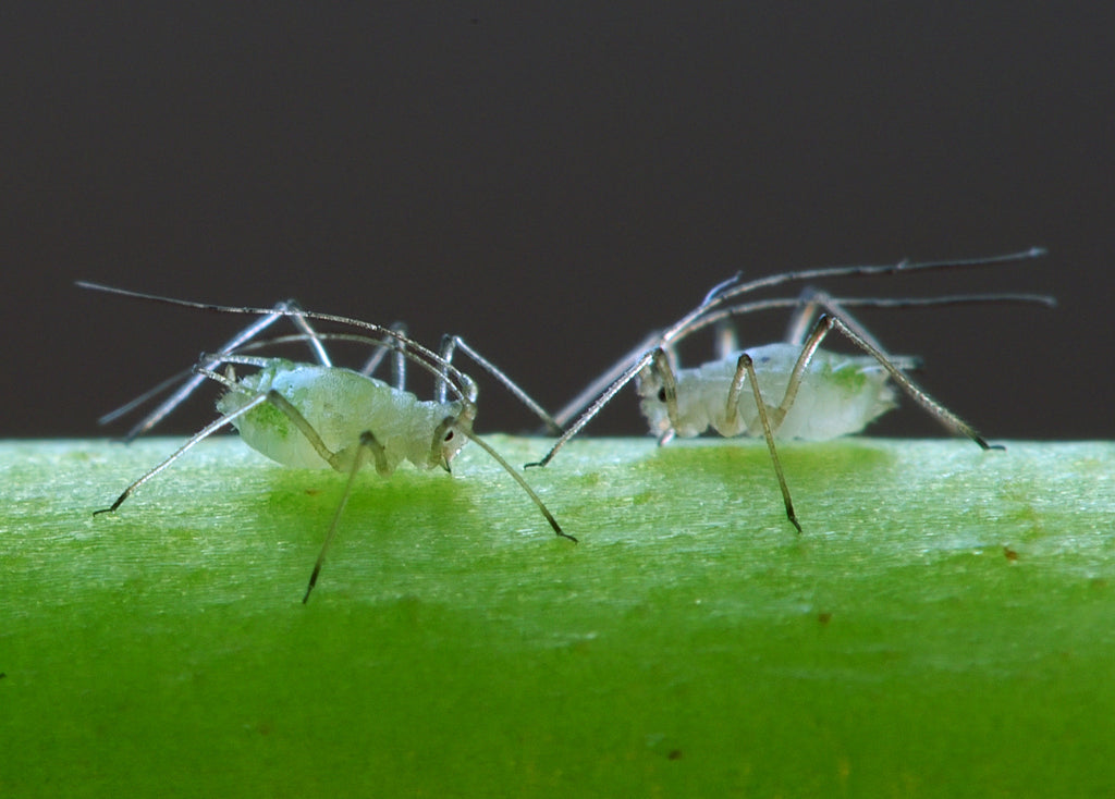 How to Get Rid of Aphids Indoor Without Harming Your Indoor Grow