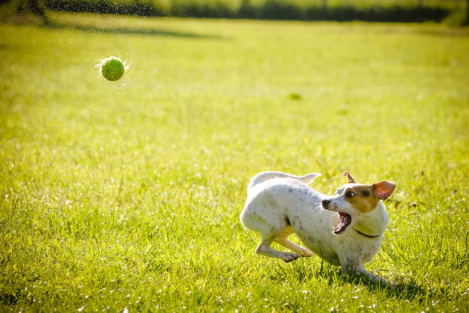 Small Dog Having Fun With Ball