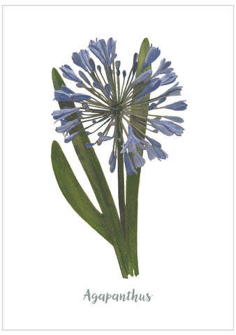 Agapanthus : Pack of 10 Postcards