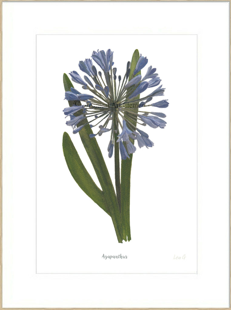 Agapanthus : Signed, Mounted Print