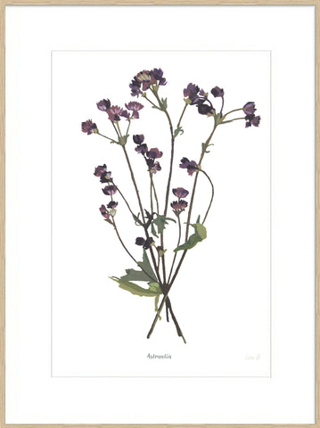 Astrantia : Signed, Mounted Print