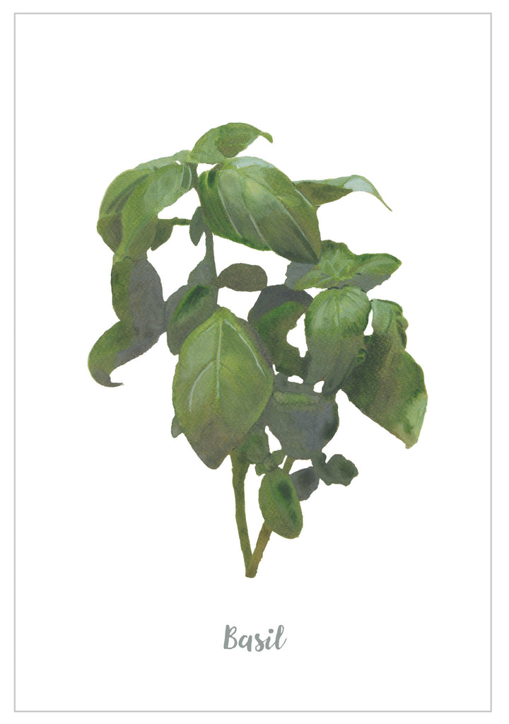 Basil : Pack of 10 Cards