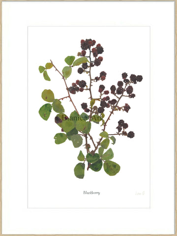 Blackberry : Signed, Mounted Print