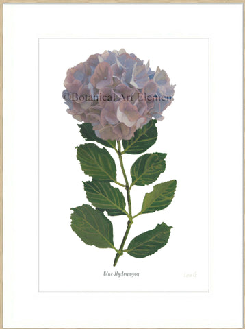 Blue Hydrangea : Signed, Mounted Print