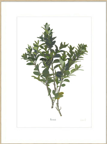 Buxus : Signed, Mounted Print