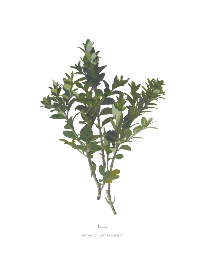 Buxus :  Poster Print