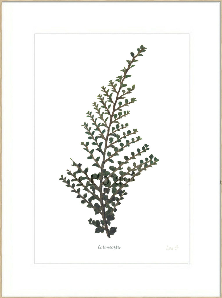 Cotoneaster : Signed, Mounted Print