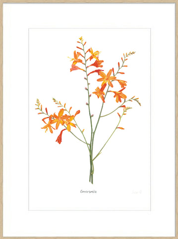 Crocosmia : Signed, Mounted Print