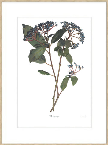 Elderberry : Signed, Mounted Print