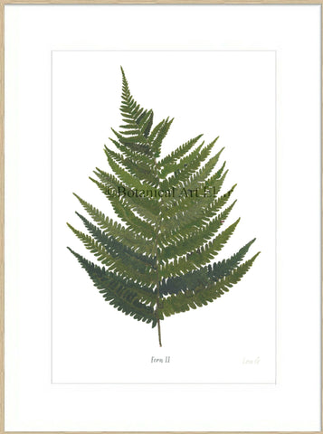 Fern II : Signed, Mounted Print
