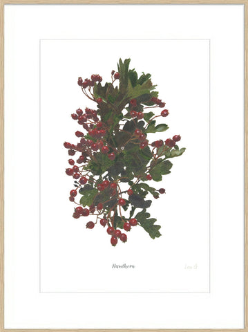 Hawthorn : Signed, Mounted Print