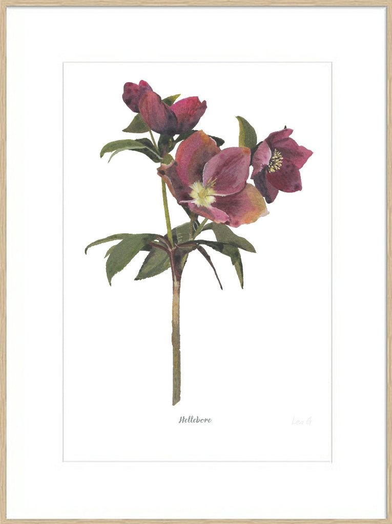 Hellebore : Signed, Mounted Print