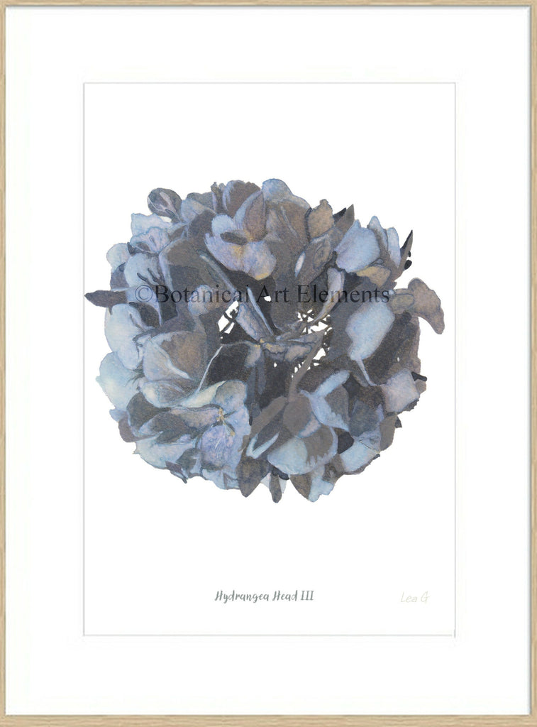 Hydrangea Head III : Signed, Mounted Print