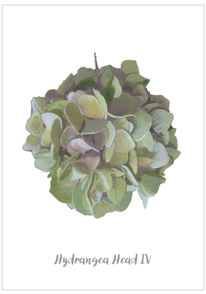 Hydrangea Head IV : Pack of 10 Postcards