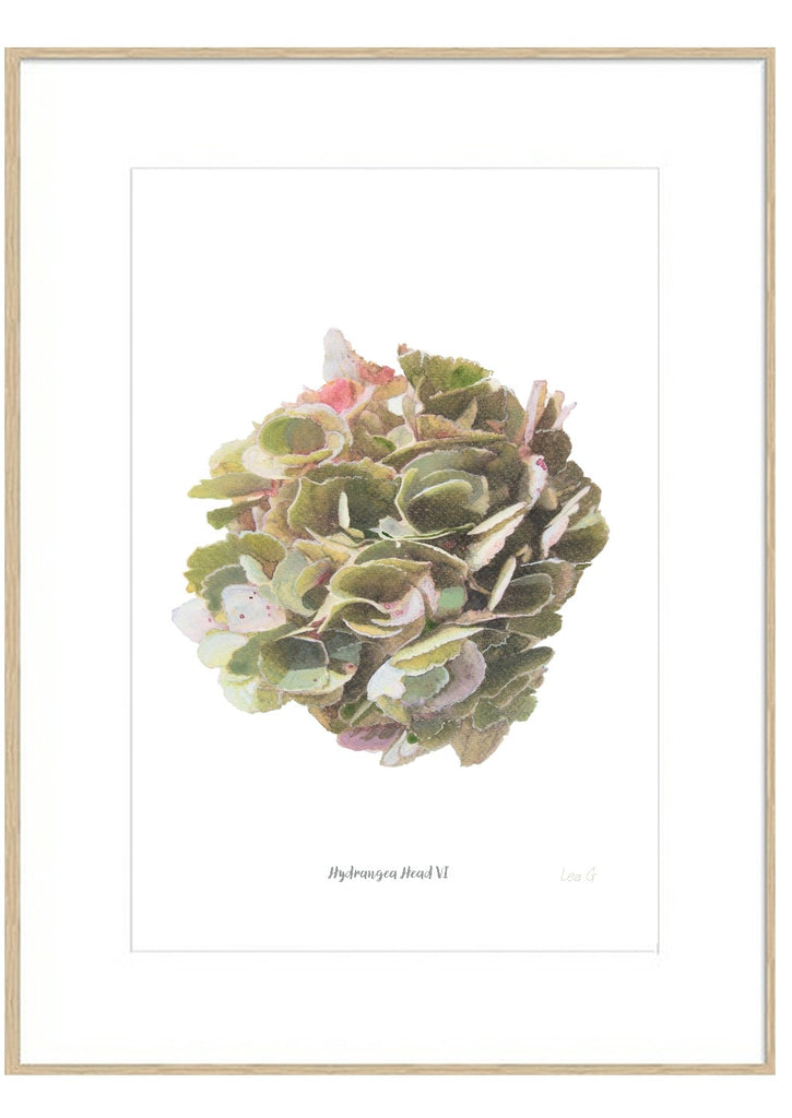 Hydrangea Head VI : Signed, Mounted Print