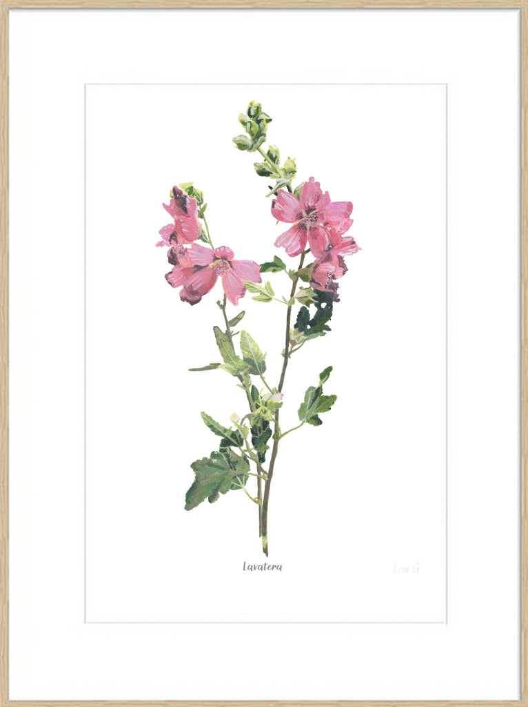 Lavatera : Signed, Mounted Print