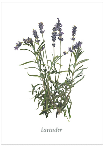 Lavender : Pack of 10 Cards