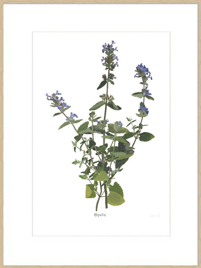 Nepeta : Signed, Mounted Print