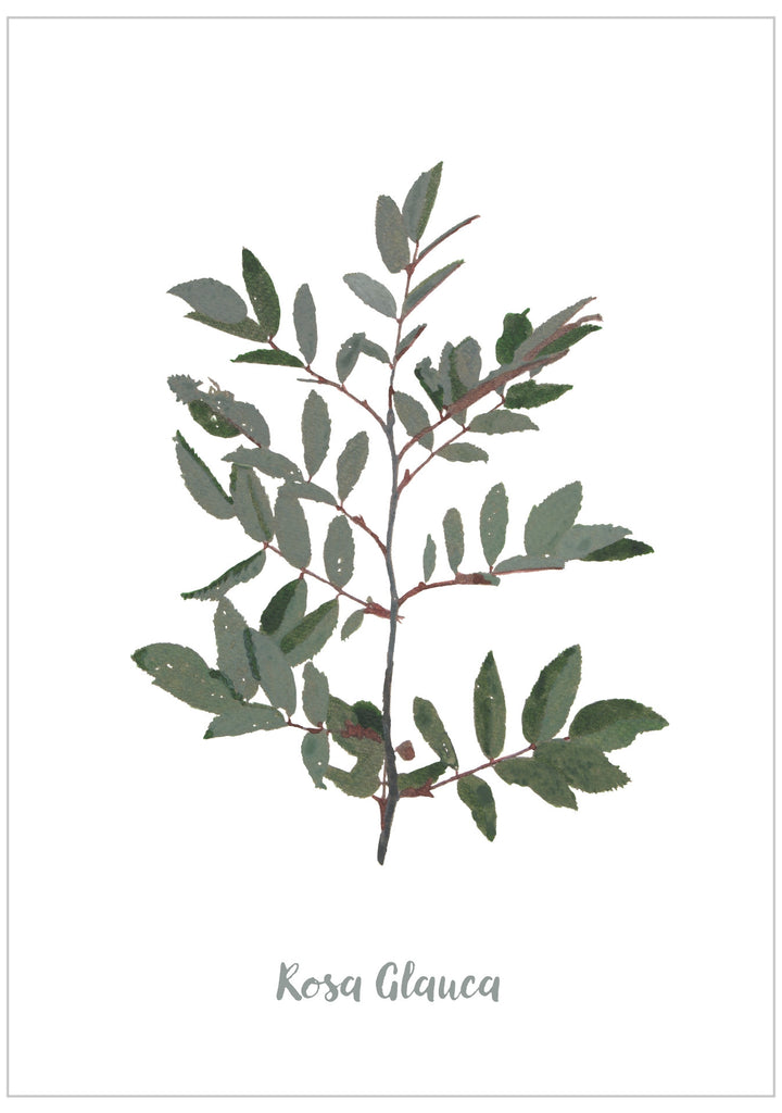 Rosa Glauca : Pack of 10 Cards
