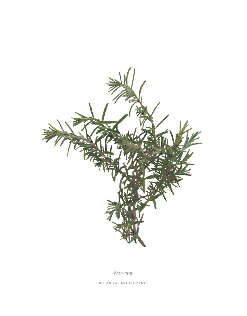 Rosemary : Poster Print