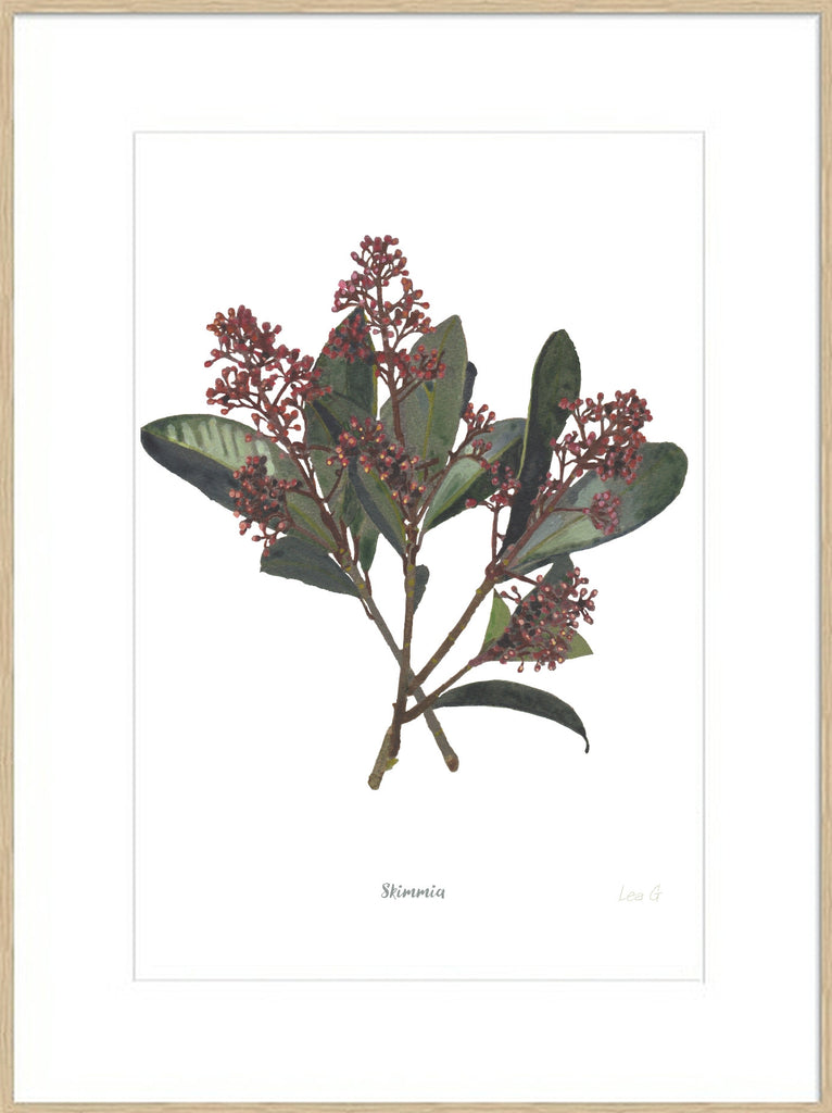 Skimmia : Signed, Mounted Print