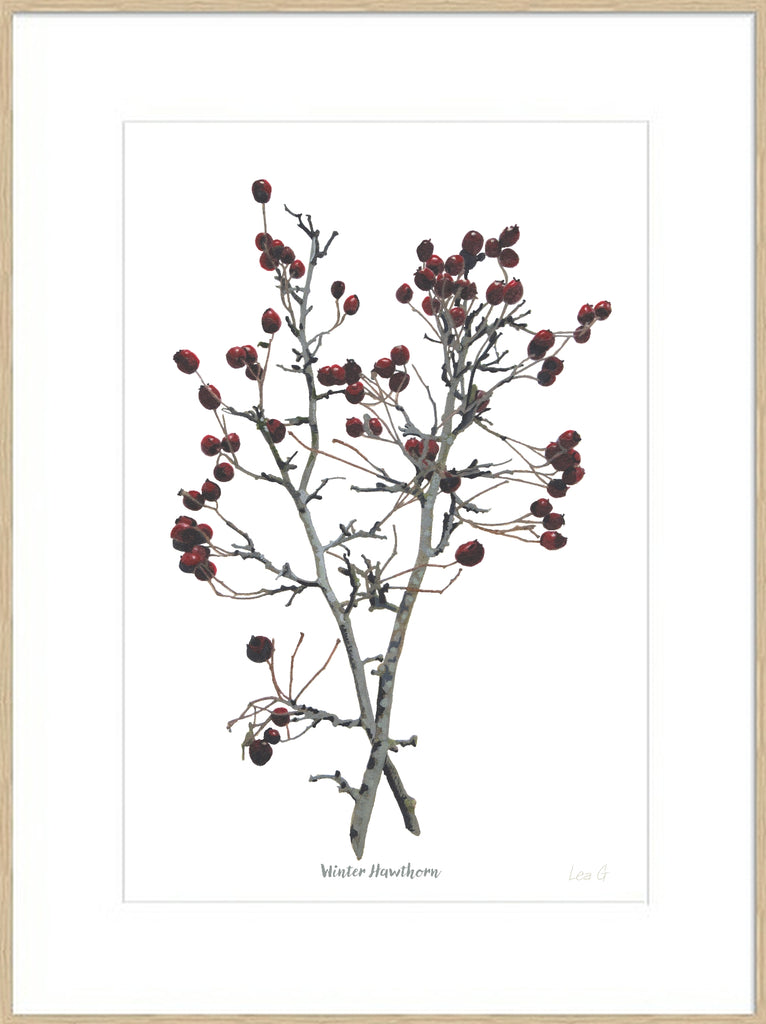 Winter Hawthorn : Signed, Mounted Print