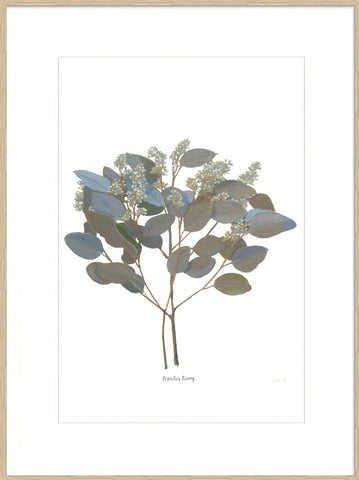 Signed, Mounted Print : Populus Berry