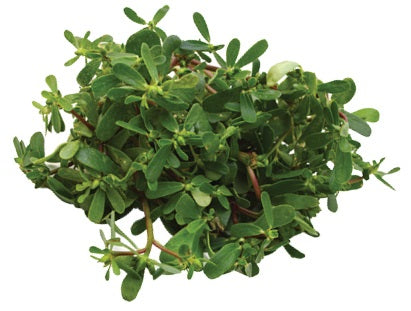 Purslane botanical