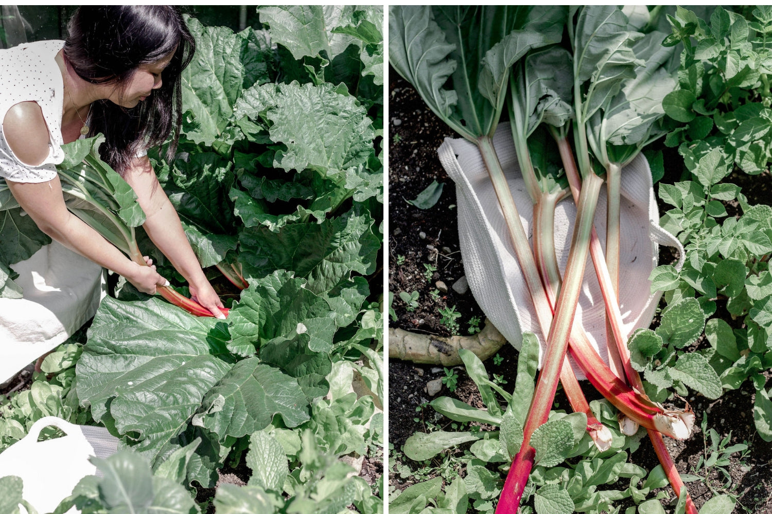 How to harvest rhubarb and keep it alive | Abeego beeswax wraps