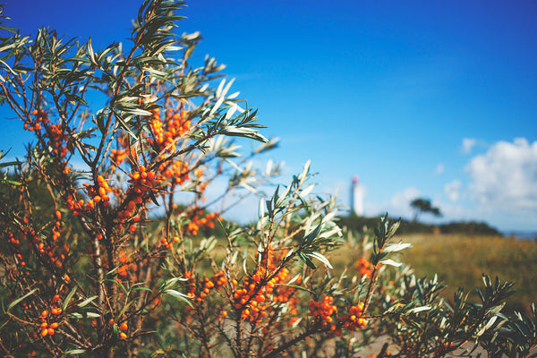 Sea Buckthorn Berry – Deep Roots in History for a Legendary Superfood