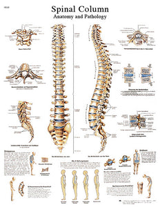 Anatomical Chart - spinal column, paper