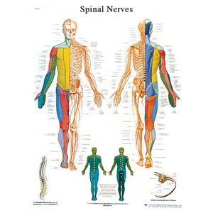 Anatomical Chart - spinal nerves, laminated