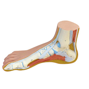 Anatomical Model - Normal Foot