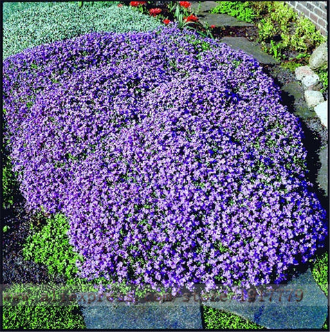 100seeds/bag rock cress seeds,Rare purple ground cover rock cress flower seeds for Home Garden Perennial Ground Cover plant A01#-EHomewares