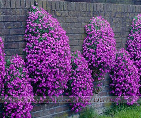 100pcs/Rock Cress (Aubrieta cultorum)seeds Rare purple ground cover rock cress Flower Seeds for Home Garden Perennial plant A02#-EHomewares
