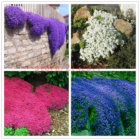 100pcs/bag Creeping Thyme Seeds or Blue ROCK CRESS Seeds - Perennial Ground cover flower ,Natural growth for home garden-EHomewares