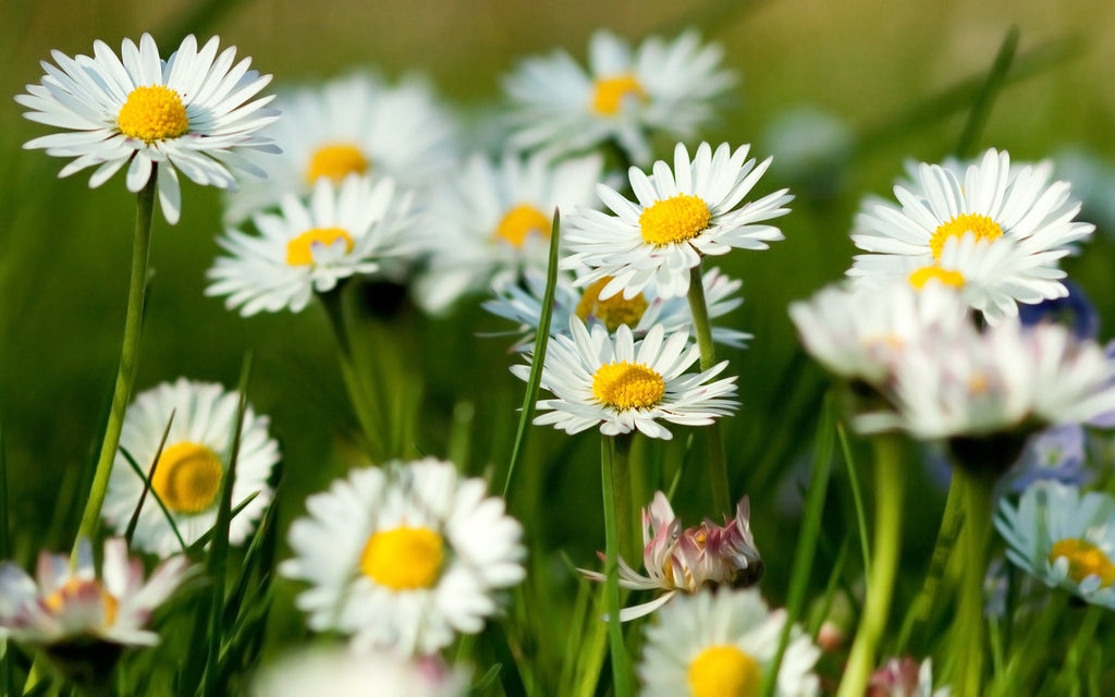 Chamomile Benefits: Can it Help You Relax?