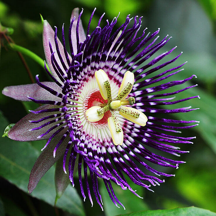 Passionflower Powder for Anxiety Relief