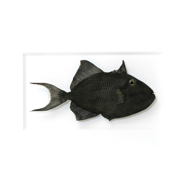 Black Triggerfish preserved by Christopher Marley with Pheromone Gallery