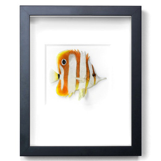Copperband Butterfly Fish preserved by Christopher Marley with Pheromone Gallery available at Gold Bug