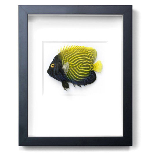 Emperor Fish preserved by Christopher Marley with Pheromone Gallery available at Gold Bug