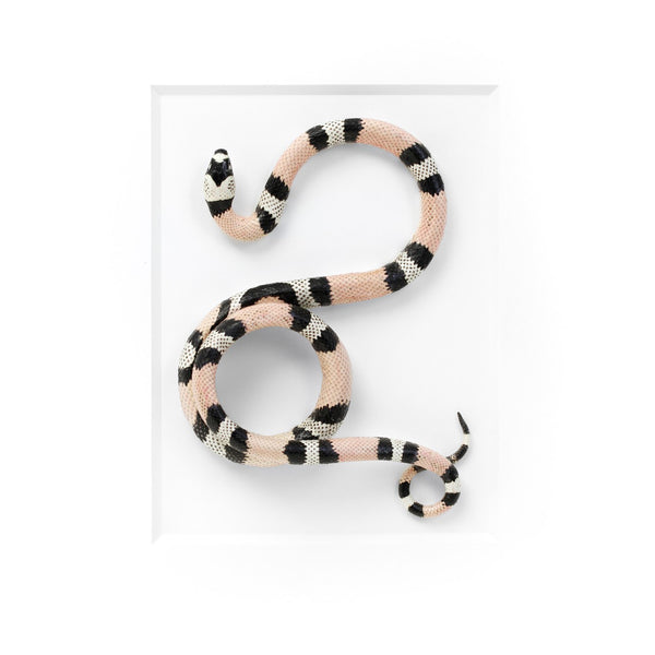 Milk Snake specimen preserved by Christopher Marley available exculsively at Gold Bug