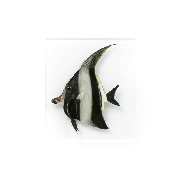 Moorish Idol Fish preserved by Christopher Marley with Pheromone Gallery available at Gold Bug