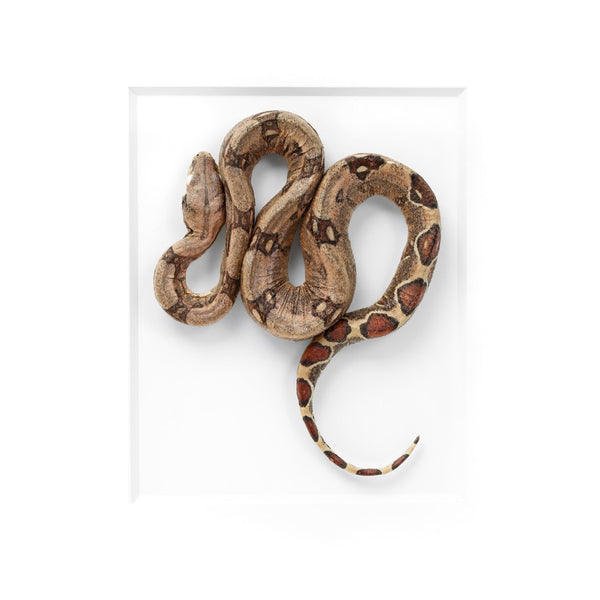 Red Tail Boa snake specimen preserved by Christopher Marley available exculsively at Gold Bug