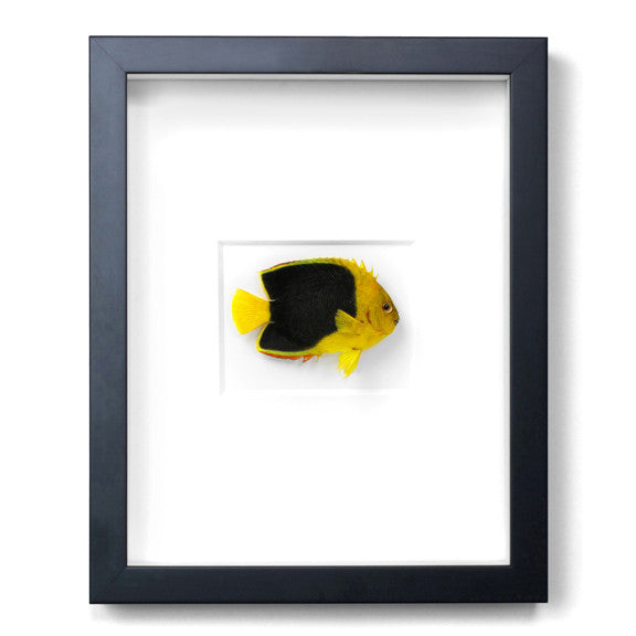 Rock Beautfy Fish preserved by Christopher Marley with Pheromone Gallery available at Gold Bug
