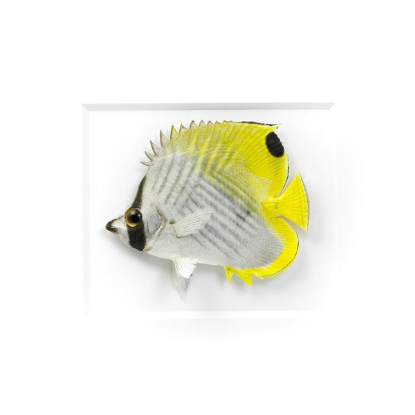 Threadfin Butterfly fish preserved by Christopher Marley with Pheromone Gallery available at Gold Bug