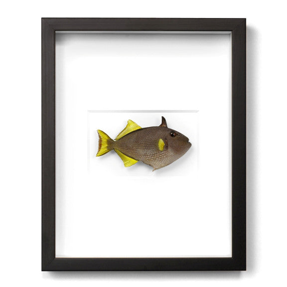 Yellow Fin Triggerfish preserved by Christopher Marley with Pheromone Gallery