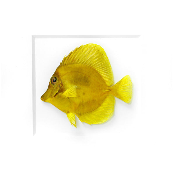 Yellow Tang fish preserved by Christopher Marley with Pheromone Gallery available at Gold Bug