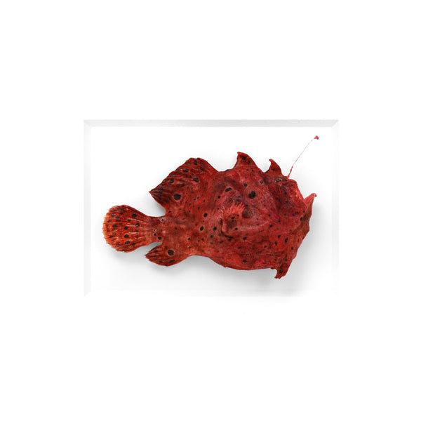 Angler fish preserved by Christopher Marley with Pheromone Gallery available at Gold Bug