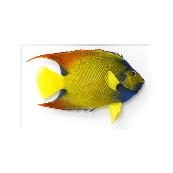 Queen Angelfish preserved by Christopher Marley with Pheromone Gallery available at Gold Bug